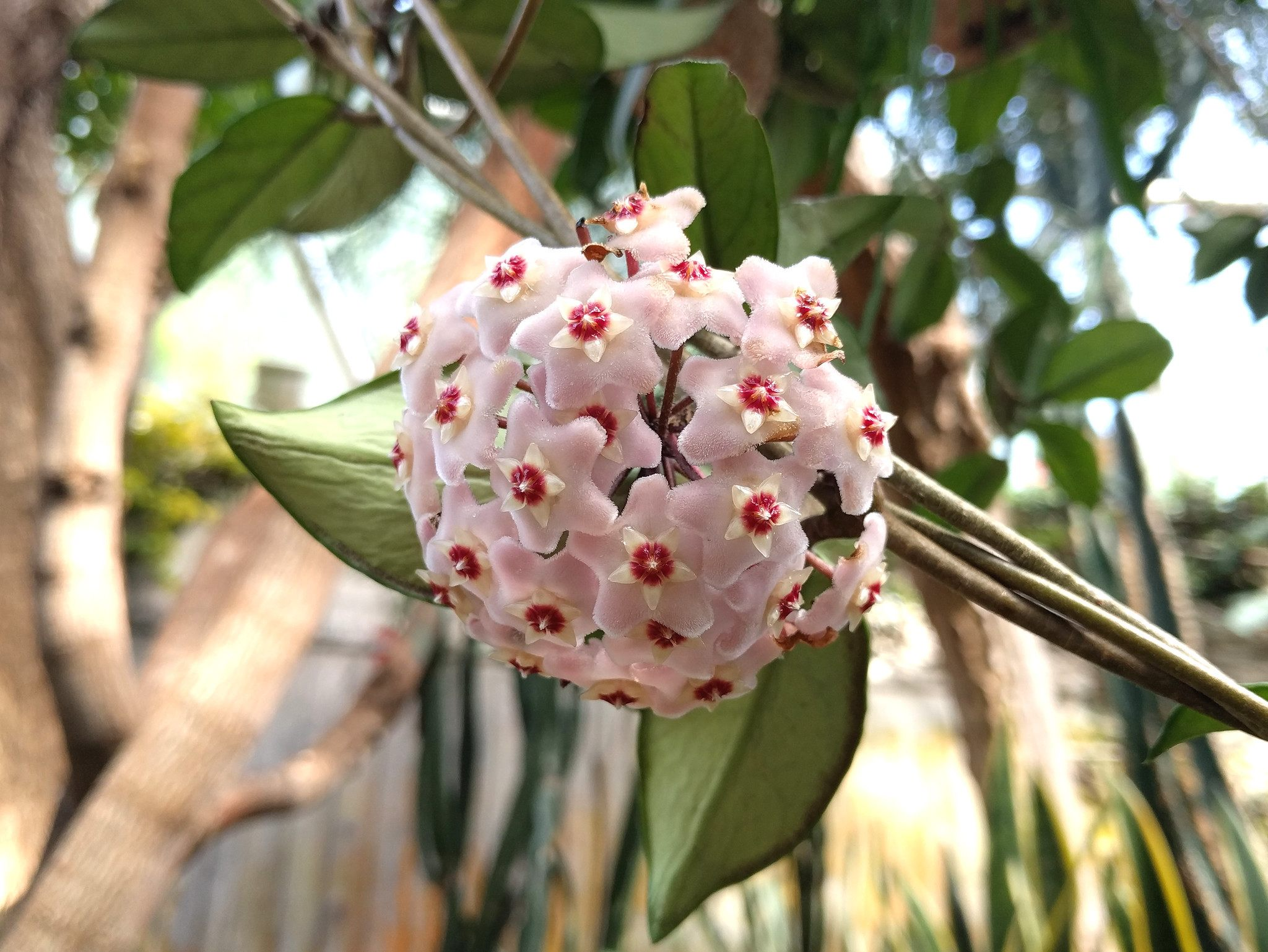 You Will Be So Surprised If Know What Is A Hoya Plant
