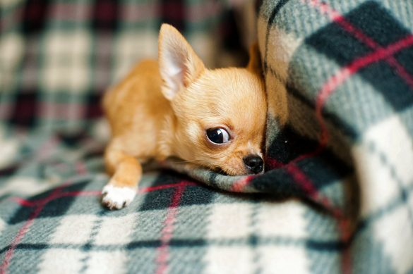 why do chihuahuas shake